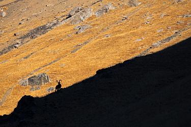 Siberian ibex (Capra sibirica) silhouetted on ridge, Tian Shan mountains, Xinjiang, China