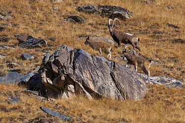Siberian ibex (Capra sibirica) group of three, Tian Shan mountains, Xinjiang, China