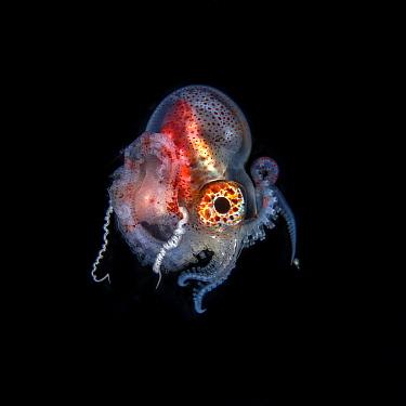 Pelagic blanket octopus (Tremoctopus gracilis) male, off Anilao, Batangas Philippines, Pacific Ocean.