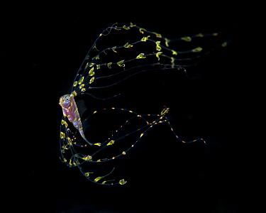 Scalloped ribbonfish (Zu cristatus) juvenile,Balayan Bay, Batangas, the Philippines.