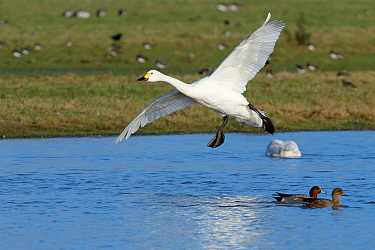 Bewick's swan (Cygnus columbianus bewickii) preparing to land on a marshland pool near other wildfowl, Gloucestershire, UK, December.