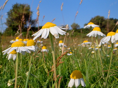 English / Roman Chamomile (Chamaemelum nobile) flowering on grazed heathland, Corfe Common, Dorset, UK, July.