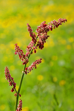 Common sorrel (Rumex acetosa) flowering in a meadow among masses of Dandelions (Taraxacum sp.), Wiltshire, UK, May.