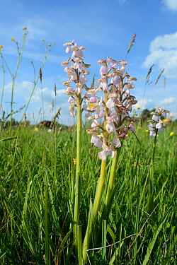 Green-winged orchid (Orchis / Anacamptis morio) clump, pale pink / white form, Mellis Common, Suffolk, UK, May.
