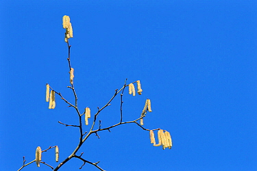 Hazel (Corylus avellana) catkins against a blue sky, Wiltshire, UK, February.