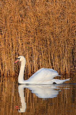 Mute swan (Anas clypeata) cob reflected in calm water as it swims past a dense stand of Common reeds (Phragmites australis) in flooded marshland, RSPB Ham Wall reserve, Somerset Levels, UK, December.