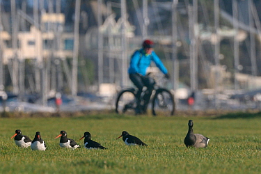 Cyclist passing a group of Oystercatchers (Haematopus ostralegus) and a Brent goose (Branta bernicla) resting on damp grassland in a harbourside urban park, Poole, Dorset, UK, December.