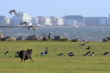 Domestic dog chasing Oystercatchers (Haematopus ostralegus) in a harbourside urban park, Poole, Dorset, UK, December.