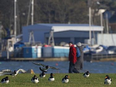 People walking past a group of Oystercatchers (Haematopus ostralegus) landing to rest on damp grassland in a harbourside urban park, Poole, Dorset, UK, December.