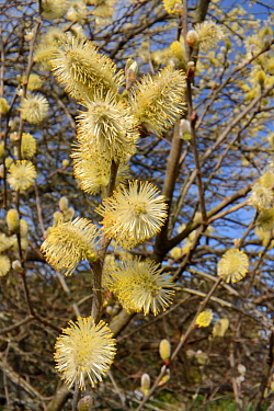 Pussy willow / Goat willow (Salix caprea) tree flowering, with mass of male catkins, Cornwall, UK, March
