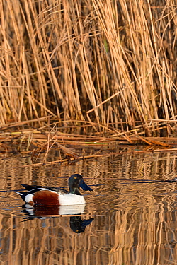 Northern shoveler drake (Anas clypeata) reflected in calm water as it swims past a dense stand of Common reeds (Phragmites australis) in flooded marshland, RSPB Ham Wall reserve, Somerset Levels, UK,...