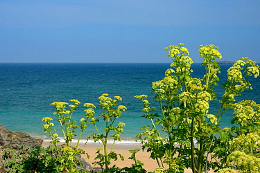 Alexanders (Smyrnium olusatrum) flowering on a coastal headland, Cornwall, UK, April.
