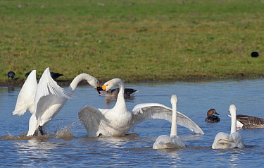Bewick's swan (Cygnus columbianus bewickii) adults fighting on a marshland pool to establish dominance soon after arrival in the UK from Russian breeding grounds, Gloucestershire, UK, November.