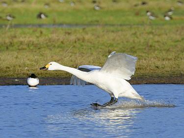 Bewick's swan (Cygnus columbianus bewickii) landing on a marshland pool, Gloucestershire, UK, December.