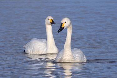 Bewick's swan (Cygnus columbianus bewickii) pair swimming on a marshland pool, Gloucestershire, UK, November.