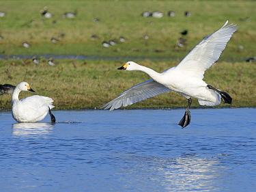 Bewick's swan (Cygnus columbianus bewickii) preparing to land on a marshland pool near another swan, Gloucestershire, UK, December.