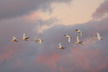 Bewick's swan (Cygnus columbianus bewickii) group flying to roost at dusk against a sunset sky, Gloucestershire, UK, November.