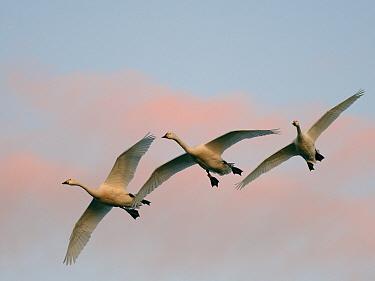 Bewick's swan (Cygnus columbianus bewickii) trio flying to roost at dusk against a sunset sky, Gloucestershire, UK, November.