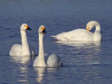 Bewick's swan (Cygnus columbianus bewickii) adults swimming on a marshland pool, Gloucestershire, UK, November.