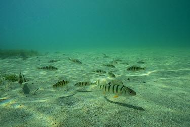 European perch (Perca fluviatilis) Lake Neuchatel, Switzerland, September. Photographed for The Freshwater Project.