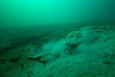 Signal crayfish (Pacifastacus leniusculus), fighting for burrow built in the soft limestone lake bed, Lake Neuchatel, Switzerland, October. Photographed for The Freshwater Project.