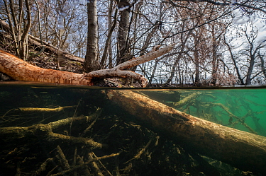 Tree felled by beavers,with marks of their teeth on it, near a beaver lodge, underwater. Vieille Thielle (Alte Zihl), Neuchatel, Switzerland. April. Photographed for The Freshwater Project.
