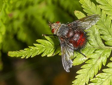 Tachinid fly (Juriniopsis adusta) on fern, Morris Arboretum, Pennsylvania, September.