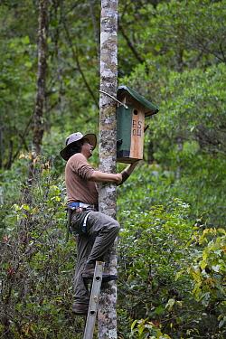 Man installing parakeet nest box, Copalinga Reserve, Ecuador.