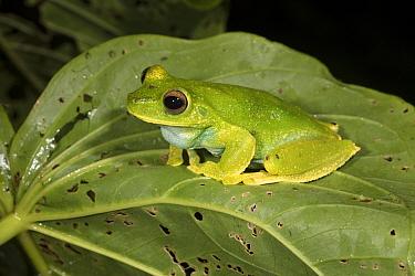 Palmar treefrog (Hypsiboas pellucens) Buenaventura Reserve, Ecuador.