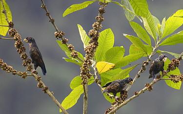 Bronze-winged parrots (Pionus chalcoptera) perched, feeding on fruit, Buenaventura Reserve, Ecuador.