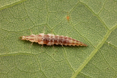 Brown lacewing larva (Hemerobiidae), Fort Washington State Park, Pennsylvania, USA, June.