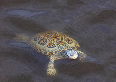 Diamondback terrapin (Malaclemys terrapin) swimming, Delaware Bay, New Jersey, USA, June.