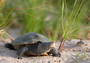 Diamondback terrapin (Malaclemys terrapin) female, Delaware Bay, New Jersey, USA, June.