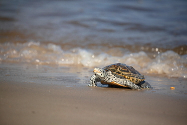 Diamondback terrapin (Malaclemys terrapin) female coming to beach to nest, Delaware Bay, New Jersey, USA, July.