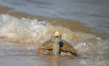 Diamondback terrapin (Malaclemys terrapin)female coming to beach to nest, Delaware Bay, New Jersey, USA, July.