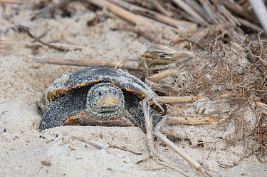 Diamondback terrapin (Malaclemys terrapin) female laying eggs, Delaware Bay, New Jersey, USA, July.