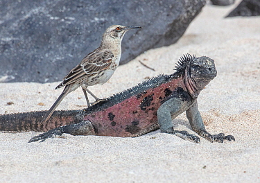 Espanola mockingbird (Mimus macdonaldi) perched on Marine iguana (Amblyrhynchus cristatus) Espanola Island, Galapgos.