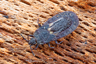 Flatbug (Neuroctenus) Camp Woods Preserve, Pennsylvania, USA, June.