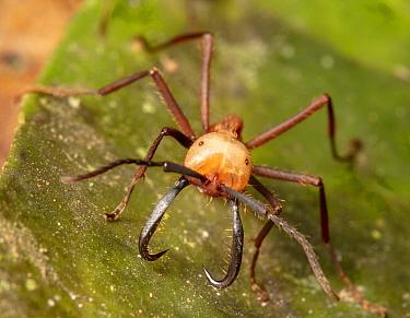 Army ant (Eciton burchellii) carrying prey, Copalinga Reserve, Ecuador.