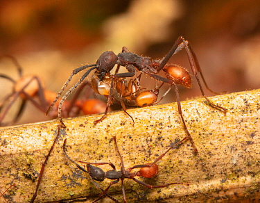 Army ant (Eciton burchellii) soldier with large mandibles, Copalinga Reserve, Ecuador.