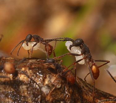 Army ant (Eciton burchellii) carrying prey pupa, Copalinga Reserve, Ecuador.