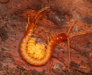 Bark centipede (Scolopocryptops sexspinosus) guarding eggs in rotten log, Pennsylvania.