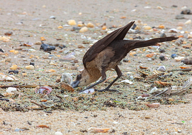 Boat-tailed grackle (Quiscalus major) foraging on horseshoe crab eggs, Delaware Bay, New Jersey, USA, May.