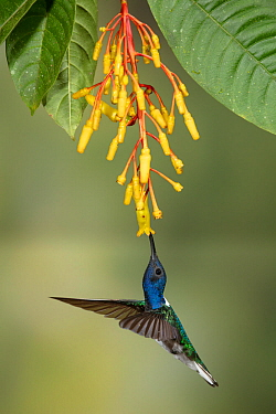 White-necked jacobin hummingbird (Florisuga mellivora) feeding from flower, Buenaventura Reserve, Ecuador.