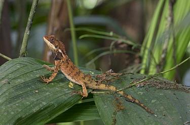Touzet's dwarf-iguana (Enyalioides touzeti) Buenaventura Reserve, Ecuador.