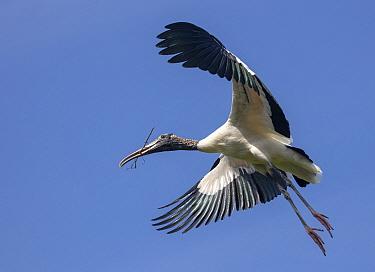 Wood stork (Mycteria americana) in flight, St. Augustine Alligator Farm Zoological Park, Florida, USA.