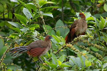 Rufous-headed chachalaca (Ortalis erythroptera) pair, Buenaventura Reserve, Ecuador.