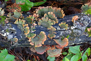 Shelf / bracket fungus (Stereum ostrea) Croatan National Forest, North Carolina, USA, October.