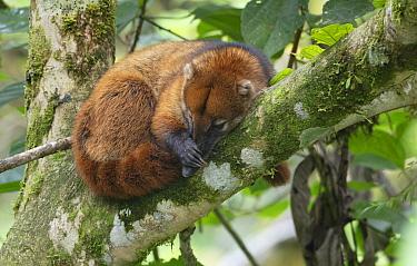South American coati (Nasua nasua) sleeping, Copalinga Reserve, Ecuador.