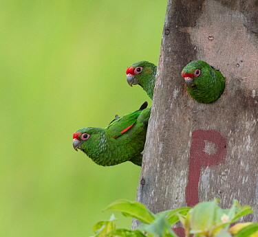 El Oro parakeets (Pyrrhura orcesi) at nest box, Buenaventura Reserve, Ecuador.